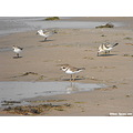 sanderlings sanderling bird birds beach sand
