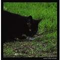 cat hunter hunting whiskers nature eyes fur