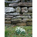 snowdrops dry stone wall