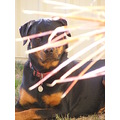 rottweiler dog pet family canine animal