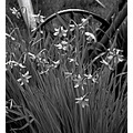 blackandwhite bw flowers wheelbarrow daffodill