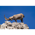 alpine ibex Hohgant Switzerland