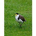 One of 2 plovers that think they own our property Better detail in orginal size