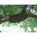 swarm tree bees cluster nature