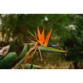 garden plant Bird of Paradise perth littleollie