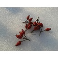 winter rosehips fruit vitamine