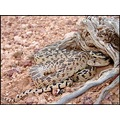 Great Basin gophersnake