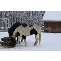 Horses Snow Winter