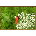 bug nature France spring flower red