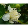 guava fruit goiaba flower white yellow green nature