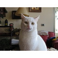 white cat putting attention