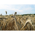 Wheat at the farm at Romorantin