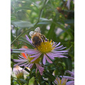 bee bees flower flowers necter pollen honey collecting garden petals green wild