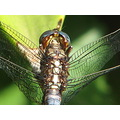 nature insects dragon fly beauty south africa