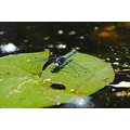 lily lake pond water nature dragon dragonfly fly float pad