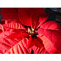 poinsettia flower red garden terrace home alora andalucia malaga spain