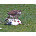 Dove Hawk Kill Bird