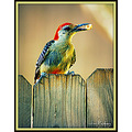 Bird Redbellied Woodpecker Carlsbirdclub Pankey Wildspirit