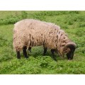 animal ram green dirty scruffy
