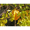 autumn fall passionvine passion vine fruit green yellow gardenfph