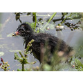 A moorhen chick please enlarge
