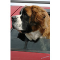 dogs stbernard animals