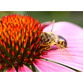 summer macro nature animal flower bee
