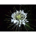 flower bloom blossom dark night white plant flora lily