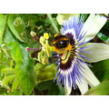 passion flower bee summer