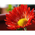 red flower daisy nature