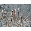 snow cattails weeds