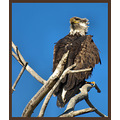 california birds baldeagle third year