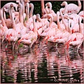 flamingo pink birds reflections