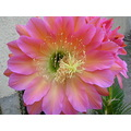 Cactus Bloom Flower Pink jdahi64