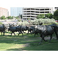 Long Horn Cattle in Park - Houston