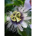 passion flower fruit passionfruit plant