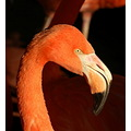 caribbean flamingo slimbridge redfriday