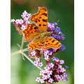 Butterfly comma devon orange