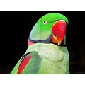 Parrot Angelholm Skane Sweden March 2013 Green Yellow Red Close