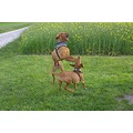 animal animals dog dogs Vizsla HungarianVizsla Vizslas fighting outside
