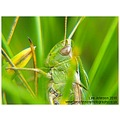 Nature Wildlife Insect Grasshopper macro Spideyj