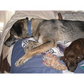 peaceandtranquilityfriday papagenasdogclub lazy dogs
