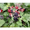blackberries fruit berries hedgerows
