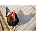 reflectionthursday chicken bird rooster