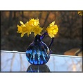 reflectionthursday daffodils bluevase glass