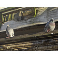 roof bird birds pidgeon pidgeons gutter