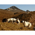 sheep top herd landscape croatia