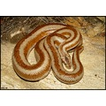 Gravid female rosy boa