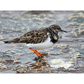 Turnstone Rock Sea Bird