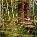 lotus reflections pond TheHousekeeper flowers plants pinoykodakeros